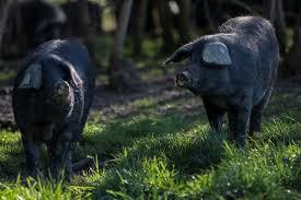Visiter les éleveurs de races anciennes dans le Gers, en Occitanie, près de Lassenat éco-maison d'Hôtes en Gascogne, chambre d'Hôtes de charme, table d'hôtes gourmande, bio et locavore, destination campagne, écotourisme et slowtourisme.