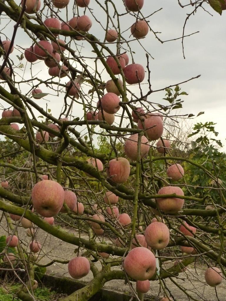 奈良県桜井市 森岡利博みかん園のりんご