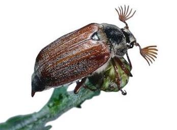 майский жук анимация из-за короткого