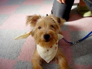 クッキーちゃん   2008年8月28日木曜日 安城教室 パピークラス修了
