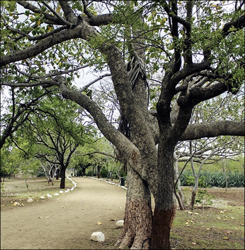 One of the banyan trees along the path.