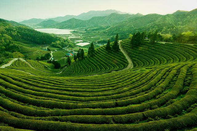 Tea platations in Assam, India