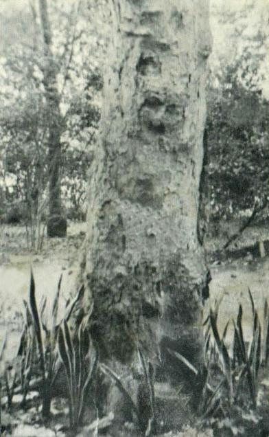 Baba's Tree outside Mehera's window