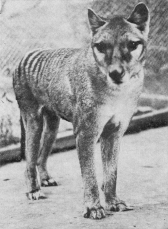 Tasmanian Tiger ( now extinct )