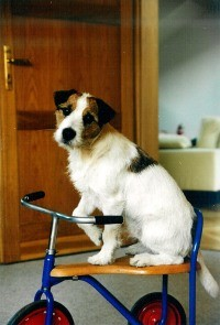 Ein Parson Russell Terrier muß alles ausprobieren