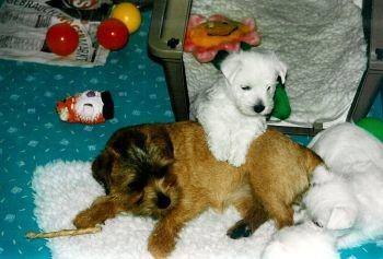 Norkolk Terrier kommen auch gut mit anderen Hunden klar