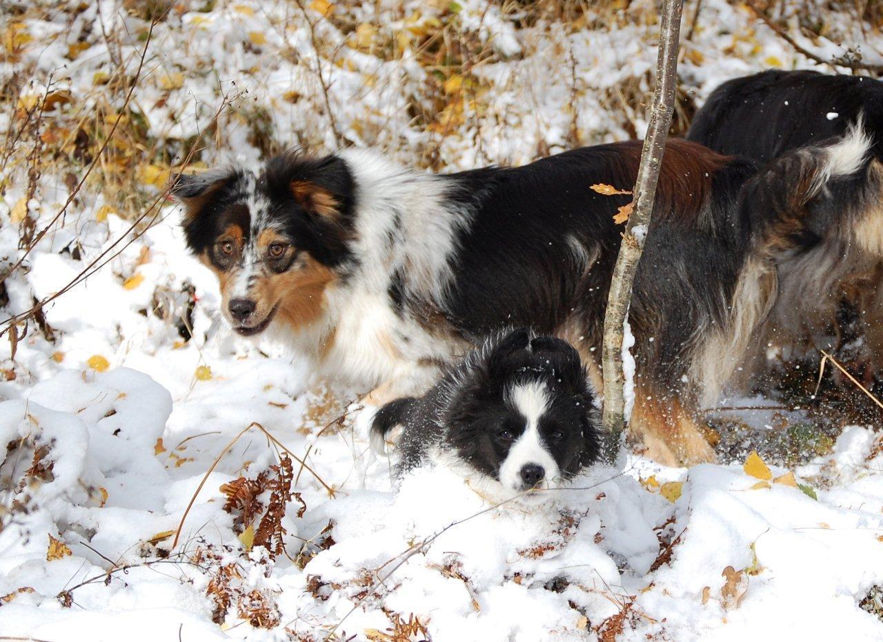 Australian Shepherds Black und Merle