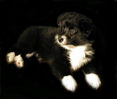 Australian Shepherd black bi