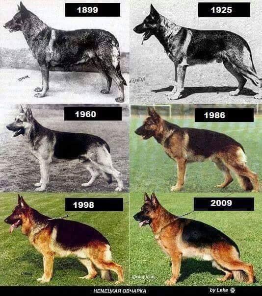 Das Leiden der Schäferhunde