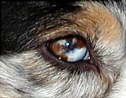 Australian Shepherd Bunte Augen