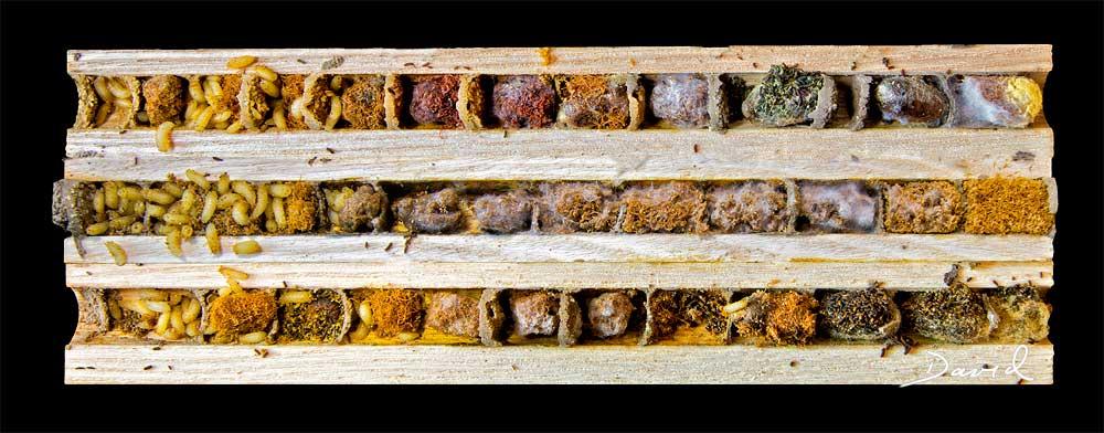 Taufliege Cacoxenus indagator Futterparasit bei der Mauerbiene Wanderung der Fliegenlarven insect nesting aid insect hotel  parasite cleptoparasite fruit fly