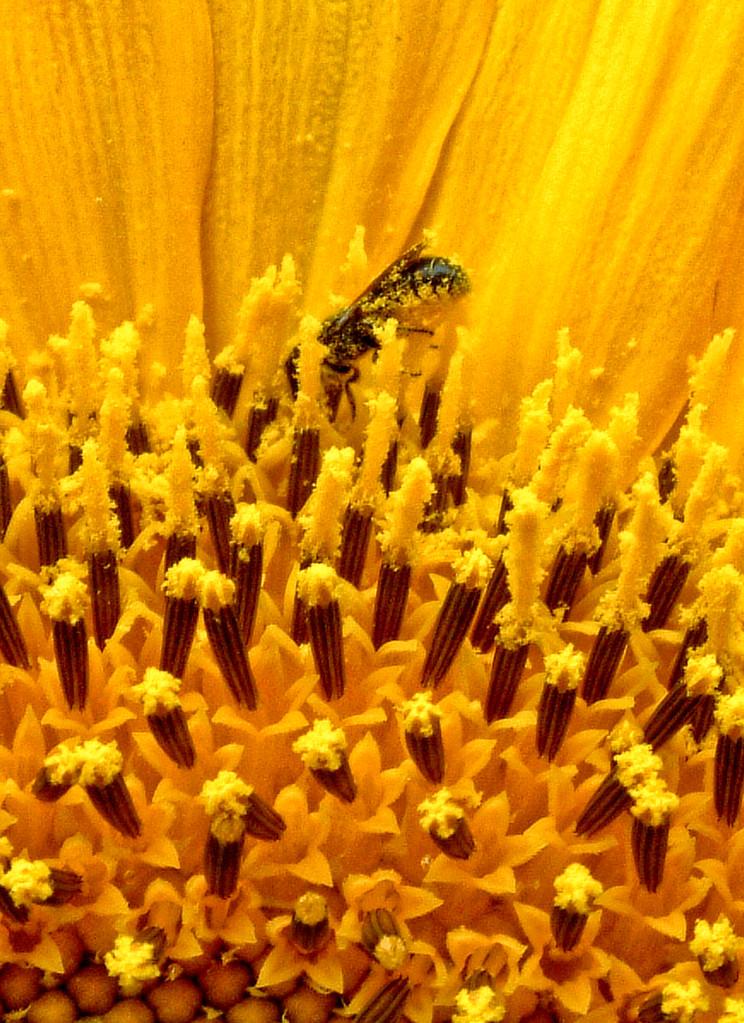 Die Gewöhnliche Löcherbiene (Osmia truncorum) im Pollenparadies [zum Vergrößern bitte anklicken]