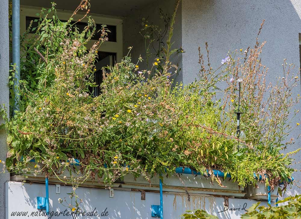 Naturgartenbalkon Balkon Balkonkasten Wildpflanzen