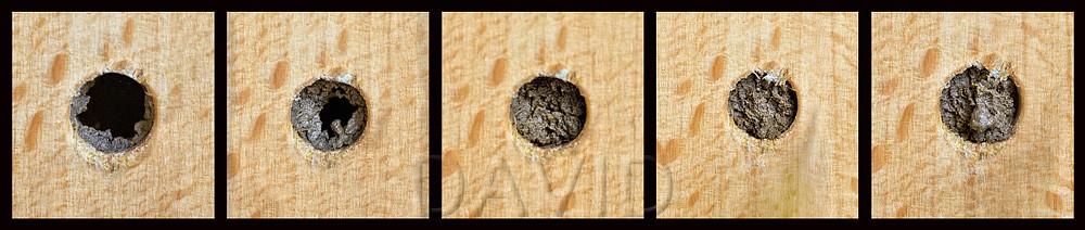 Als Abschluß nach Außen baut die Rostrote Mauerbiene einen bis zu 15 mm dicken Verschlußdeckel aus Lehm