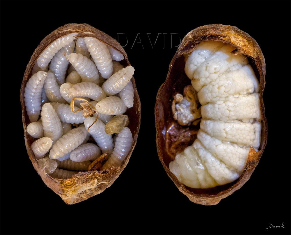 Erzwespe Monodontomerus obsoletus Trauerschweber Anthrax anthrax Kokon Mauerbiene