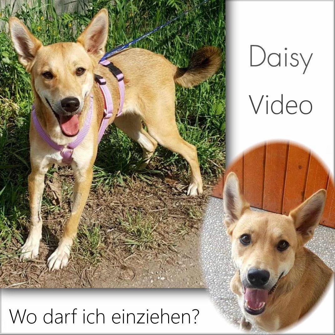 Daisy Video - Wo darf Daisy einziehen?
