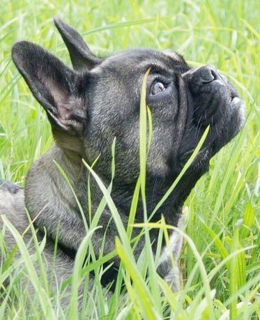 """Französische Bulldogge mit längerer Nase und freier Atmung """"Mayavon den kleinen Fellnasen"""" Besitzerin:Mary-Ann Spindler"""