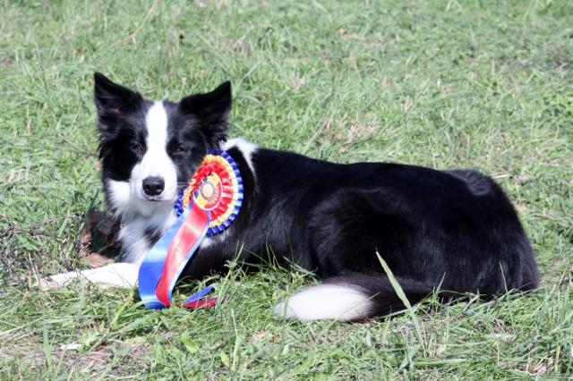 Joy erlangte die Titel Rumänischer Champion & Rumänischer Grand Champion