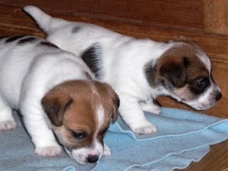 Wizz Kidd en Wacko Jack 4 weken oud