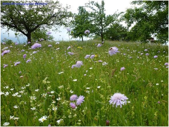 """Blumenwies im Betreuungsgebiet """"Bühllinde"""" ,Rechberghausen – Foto: NABU, H. Mühleis"""