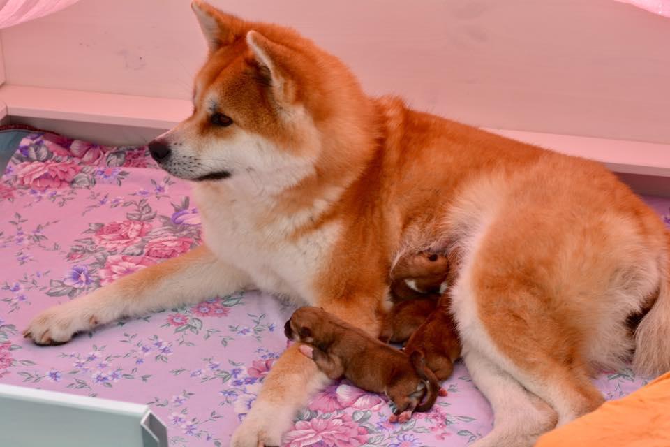 Sayumi und ihre 4 Welpen