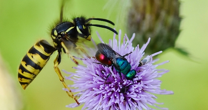 Gemeine Wespe (links) mit Feuergoldwespe (mittig) | Foto: Peter Brixius
