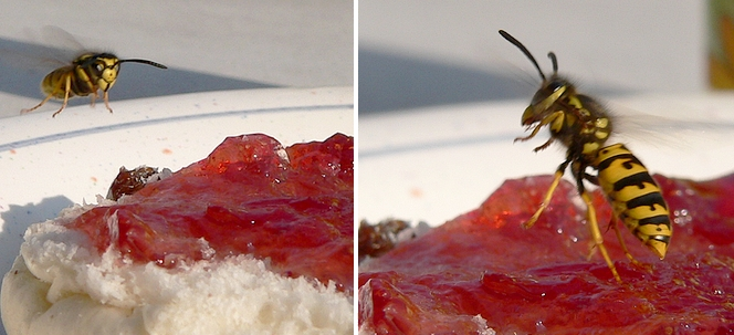 Wespenbesuch am Marmeladenbrötchen | Bilder: Rainer Michalski