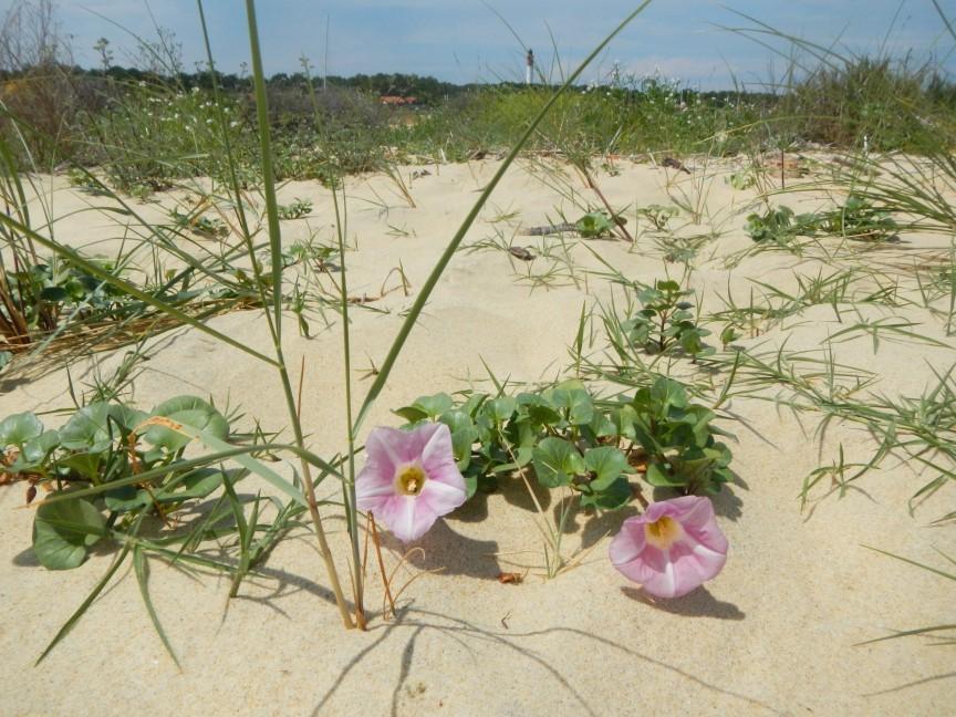 Le liseron des sables