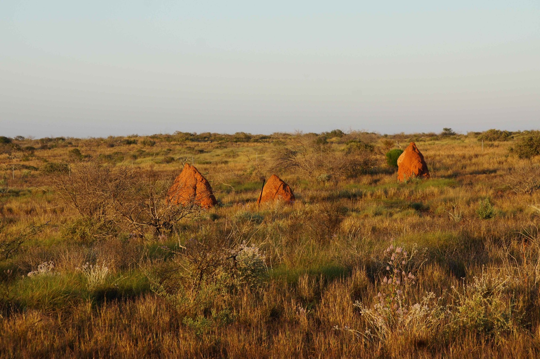 Termitenhügel bei Sonnenaufgang in Westaustralien
