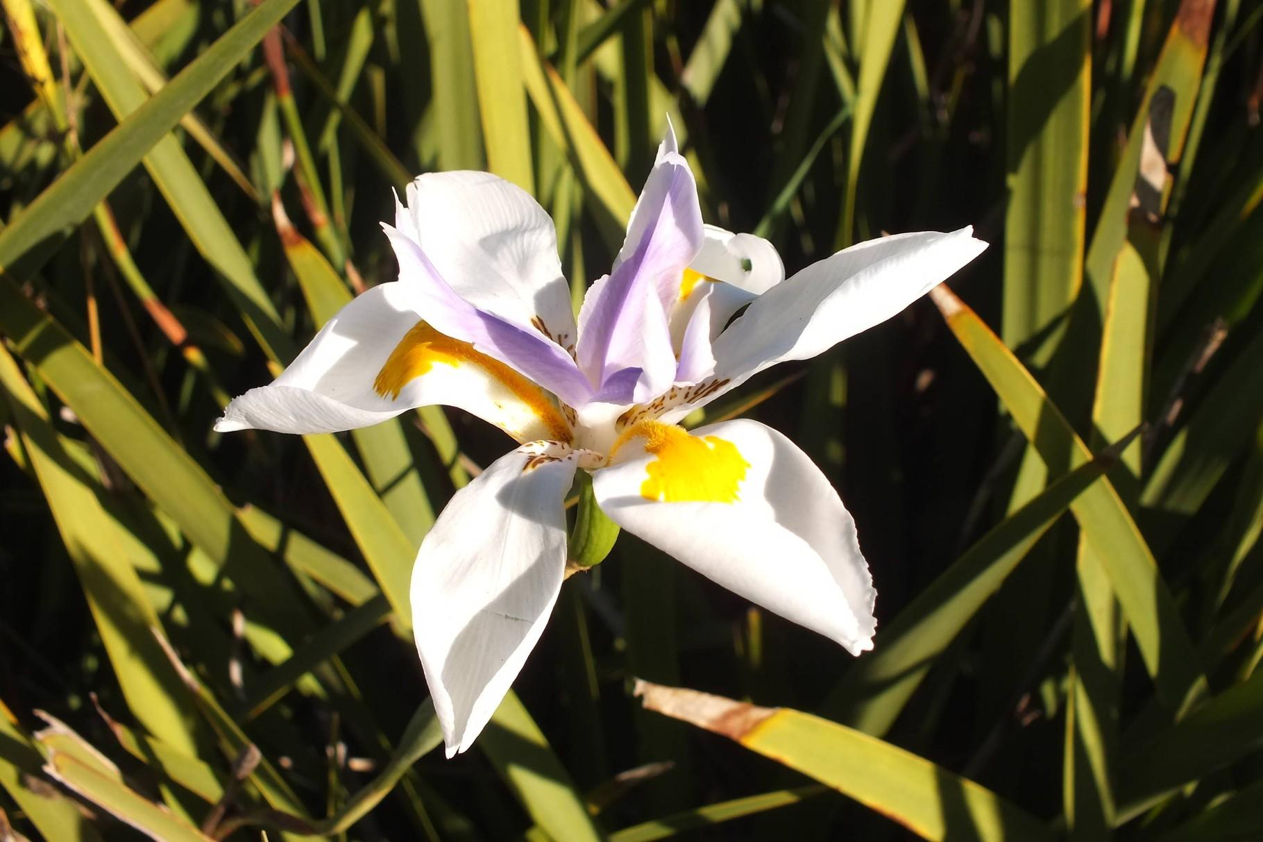 Orchidee, WA