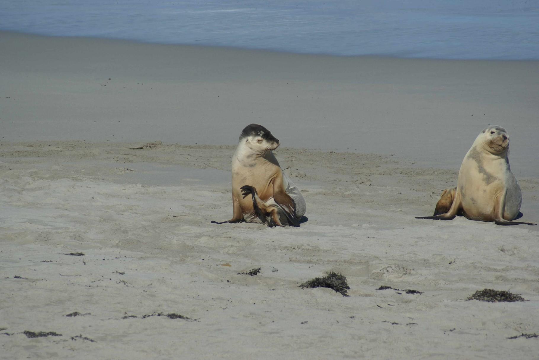 Neugierige junge Seelöwen