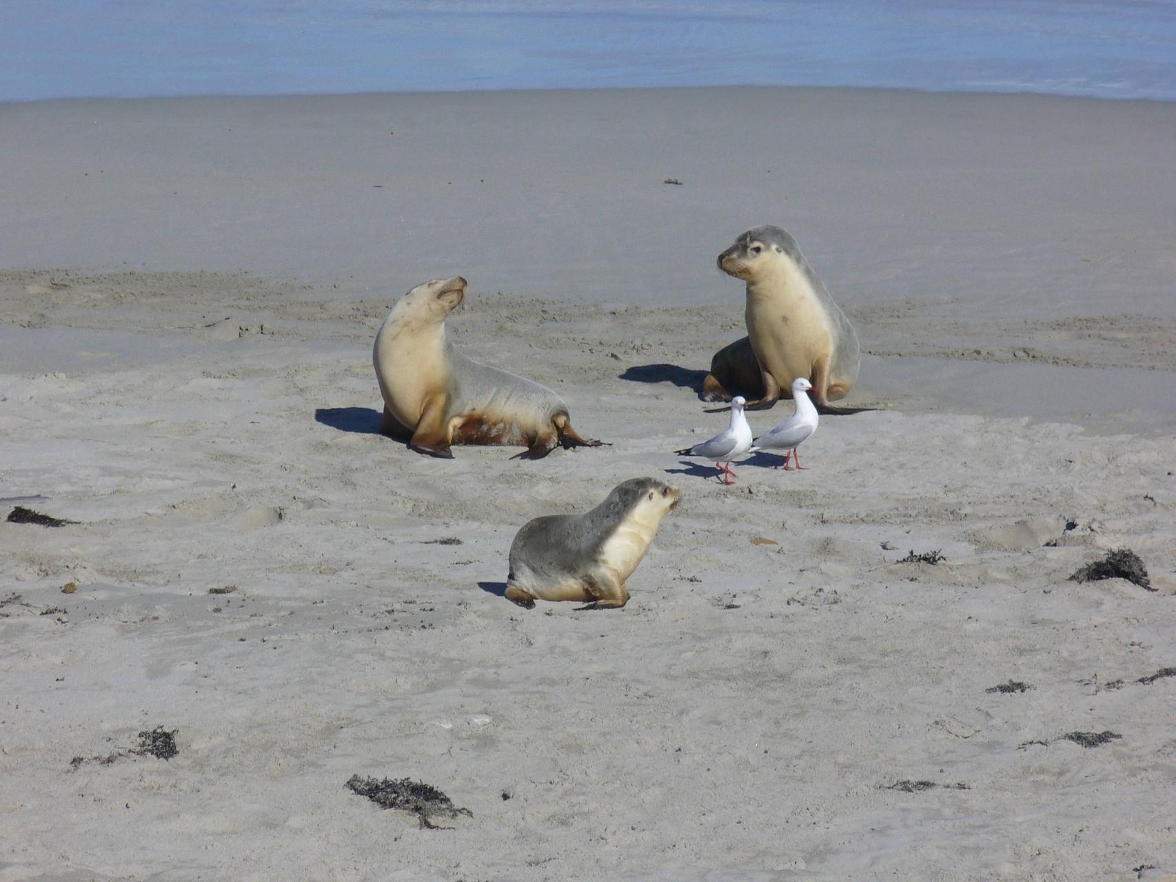 wer beobachtet hier wen - Möwen und Seehundkinder auf Kangaroo Island