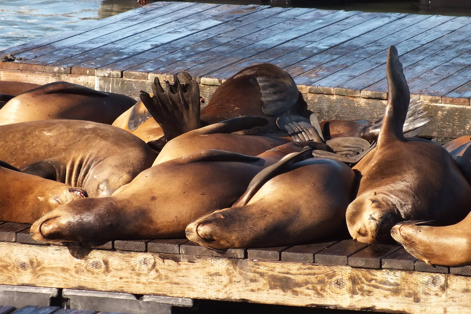 Seelöwen am Pier 39, San Francisco, USA