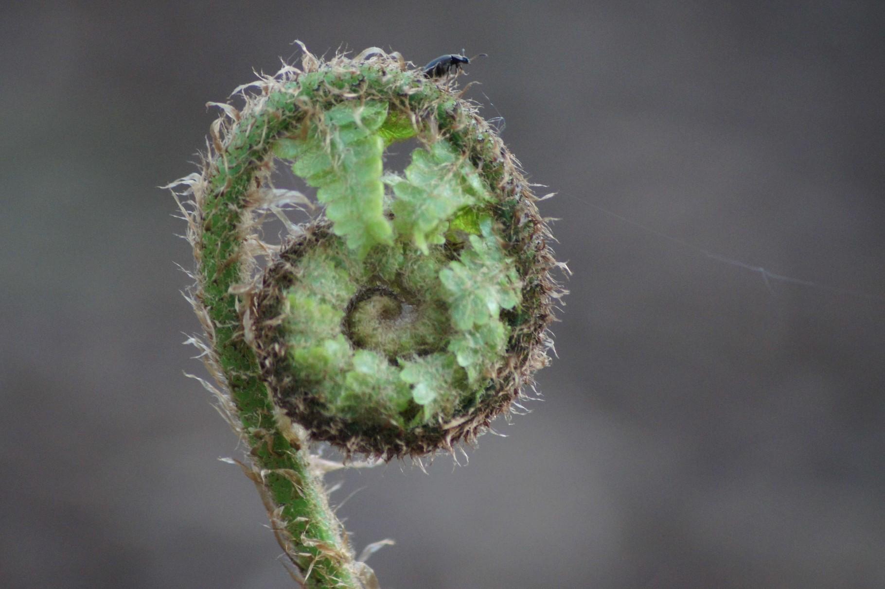 Junger Farn mit Käfer und Spinnfaden
