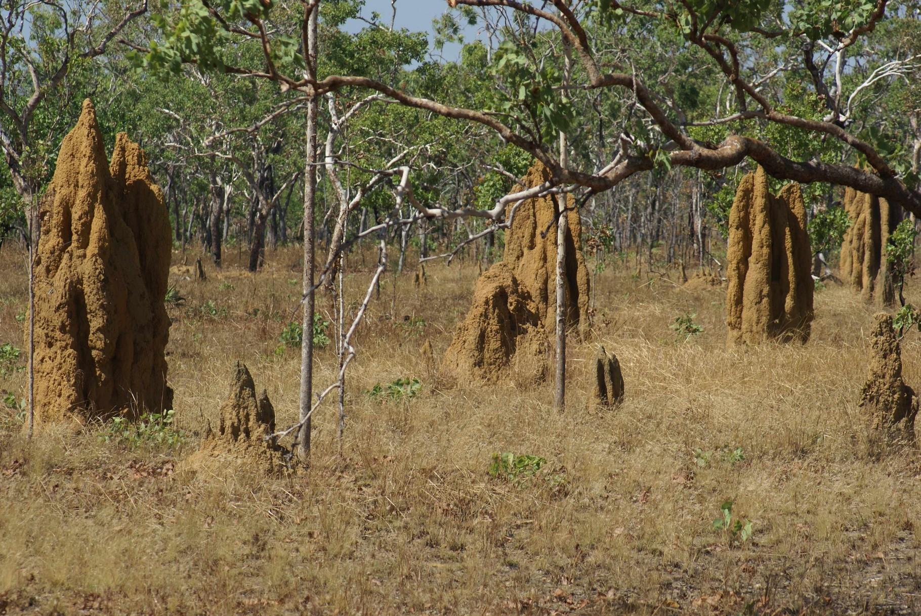 Holzabfälle werden durch die Termiten entfernt - die Dichte der Hügel nimmt entsprechend zu
