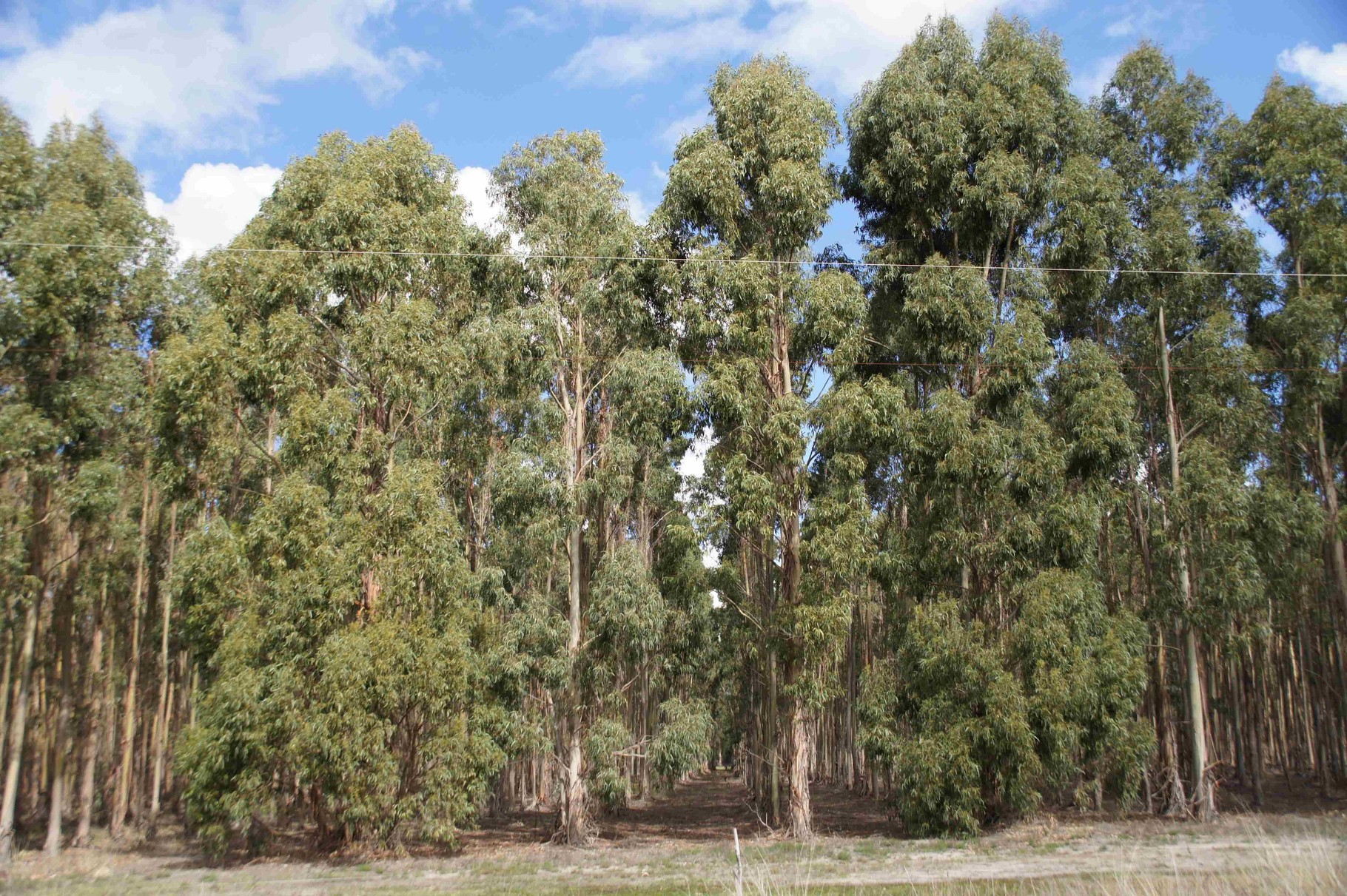 Waldplantage - Eukalyptus in Reih' und Glied bei Esperance, WA