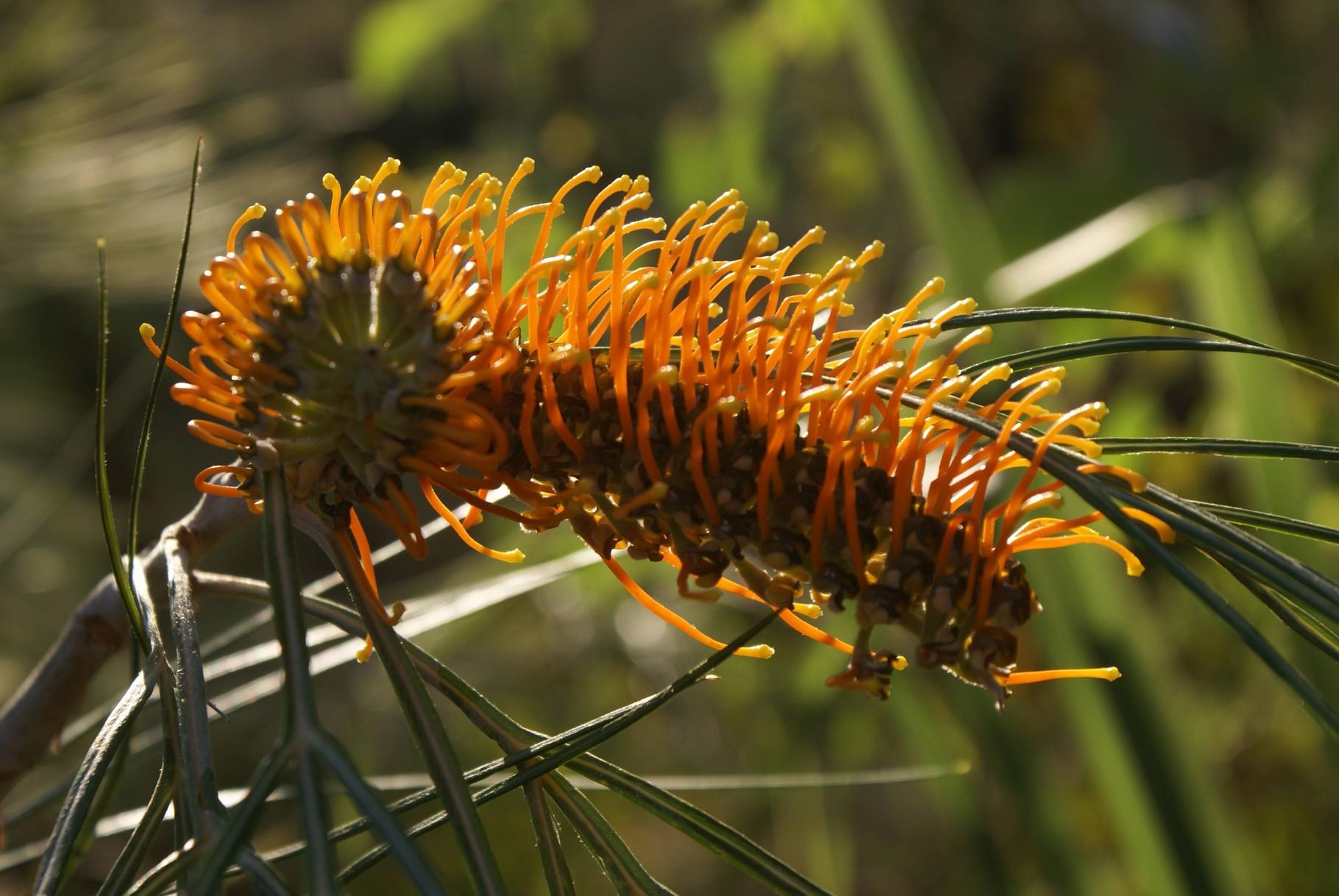 Banksia, WA