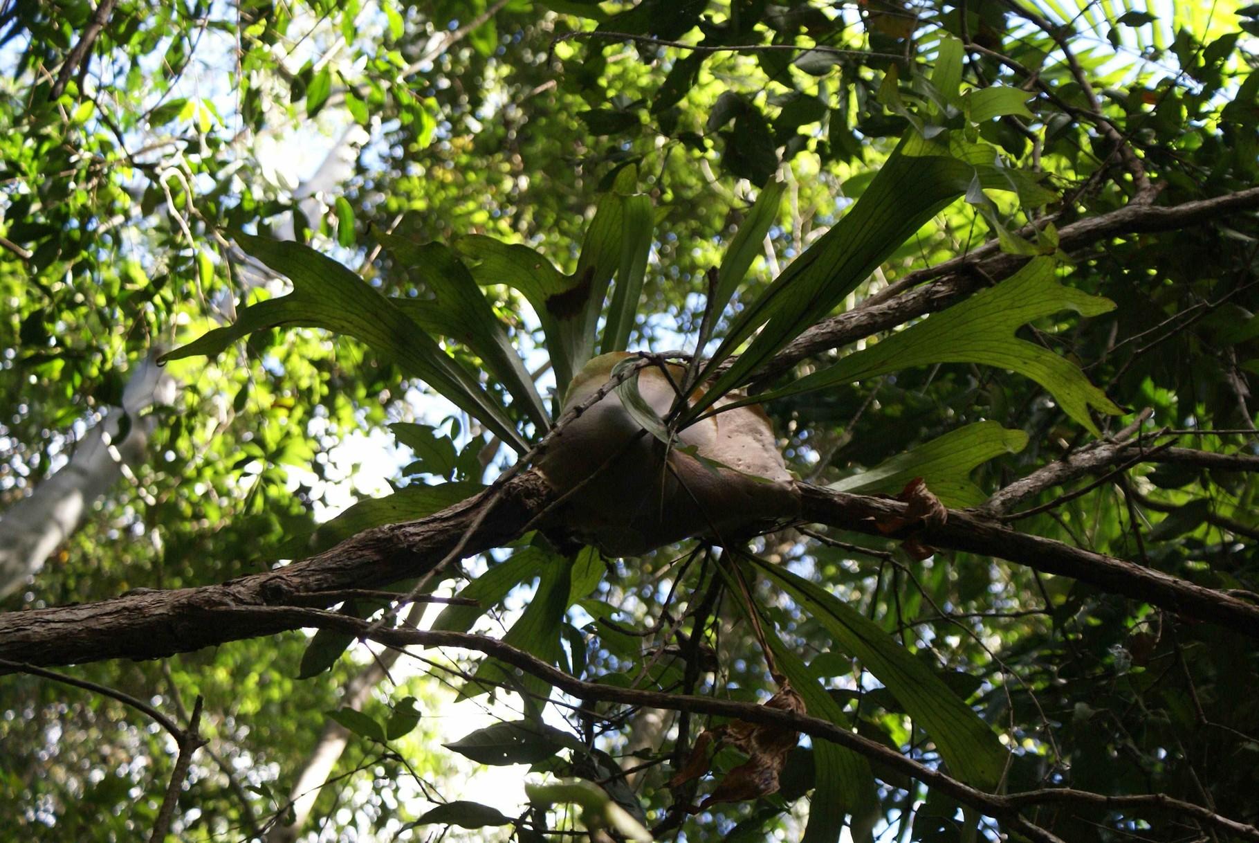 Baumfarn, Queensland, Australien