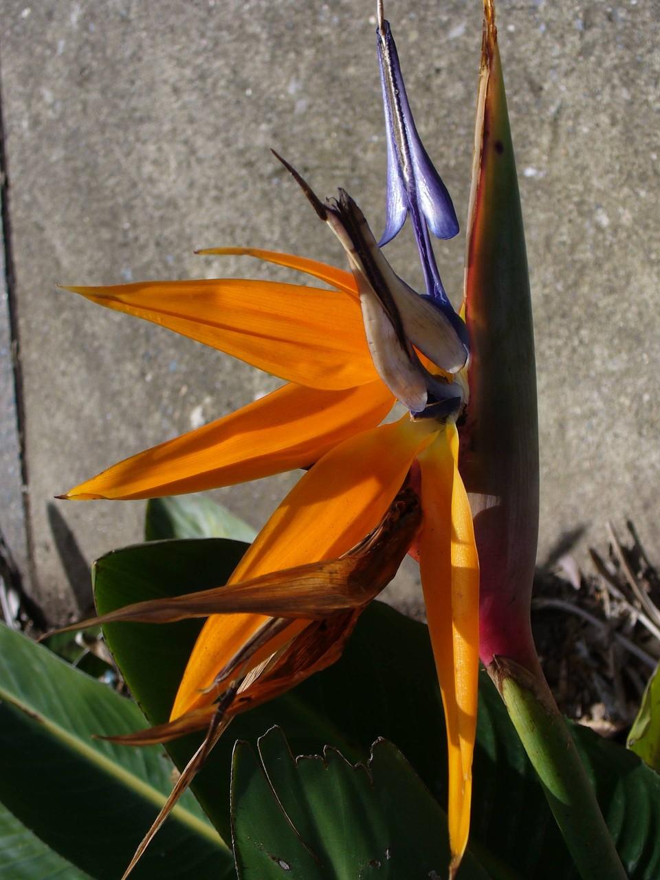 Paradiesvogelblume, Queensland