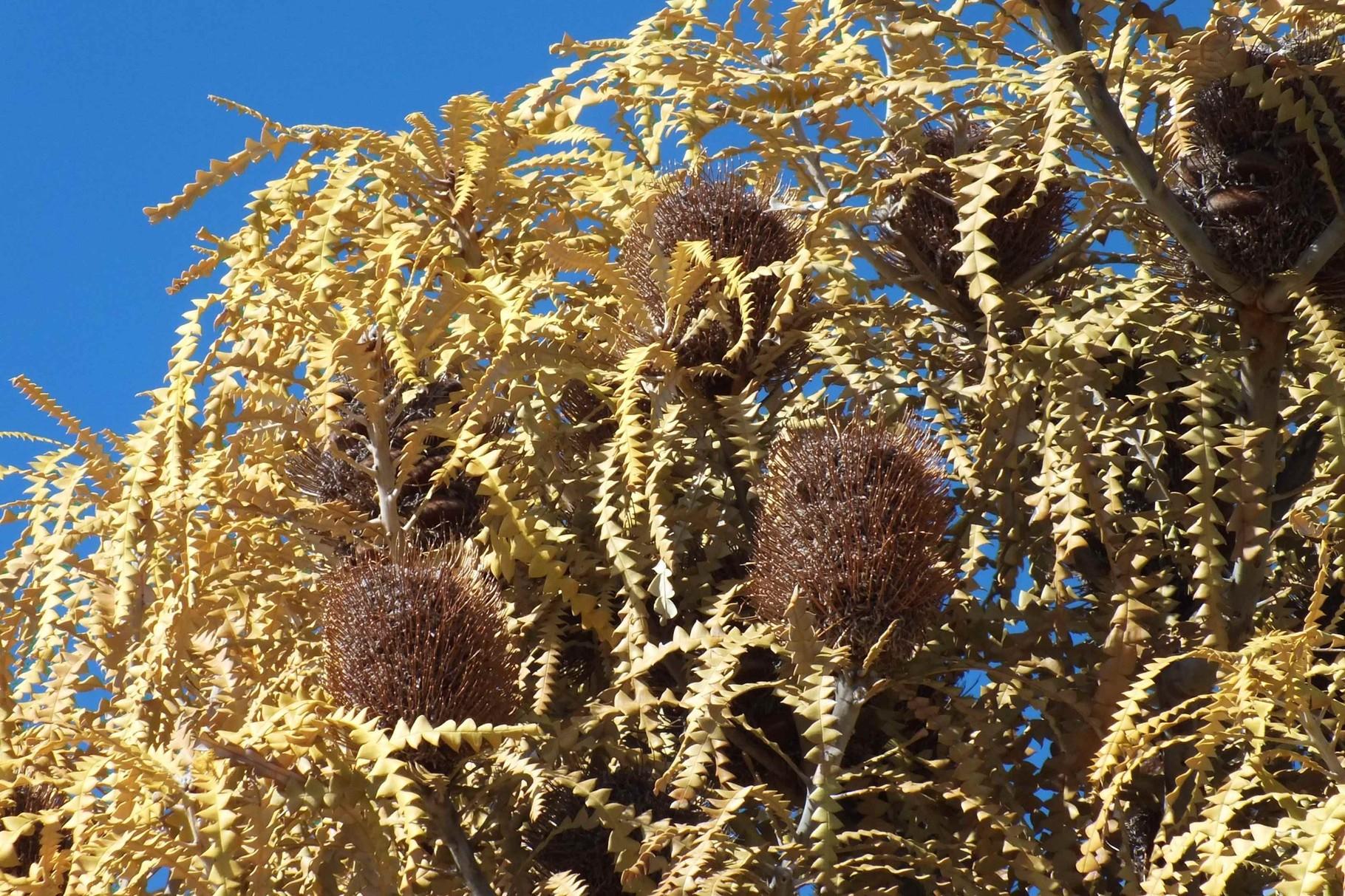 Banksia, Westaustralien