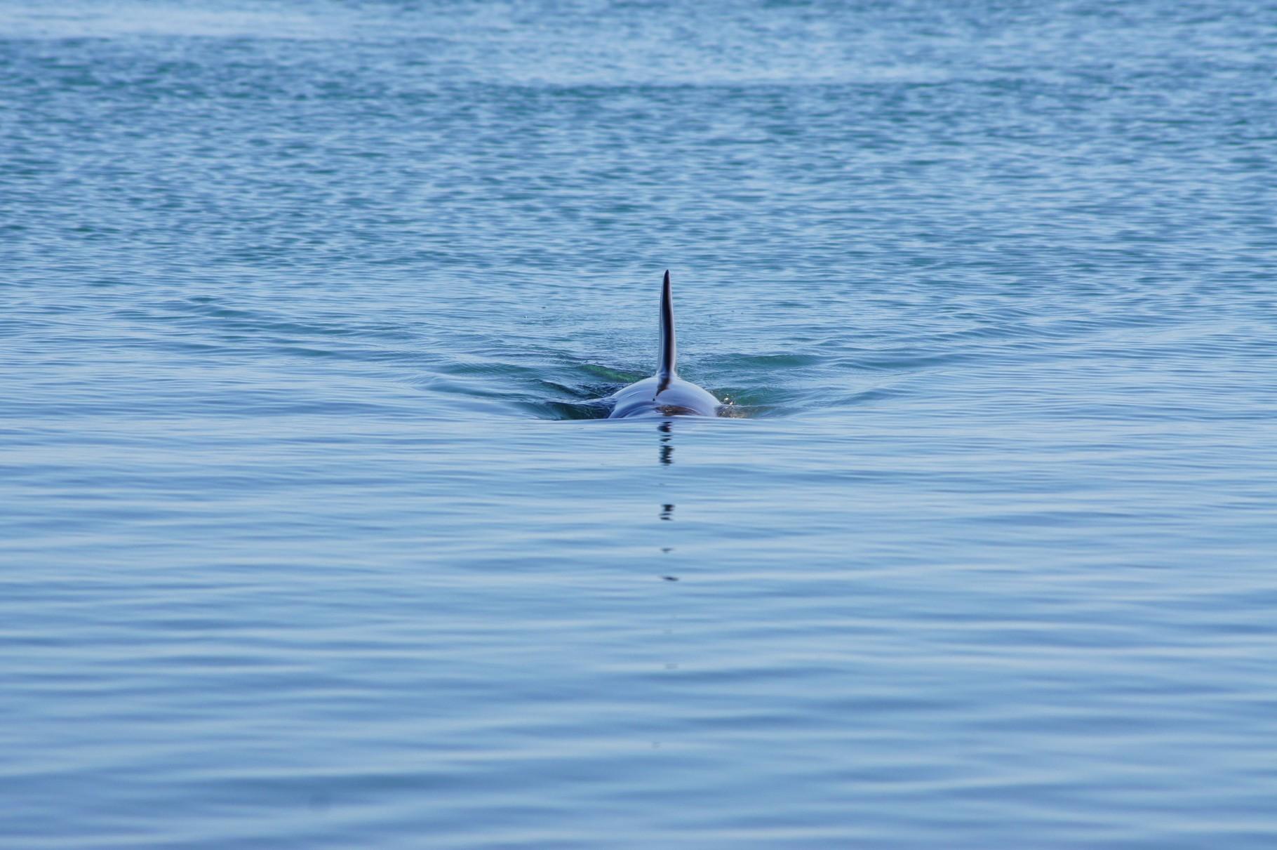 wie ein Torpedo - ist aber ein Delphin in Küstennähe
