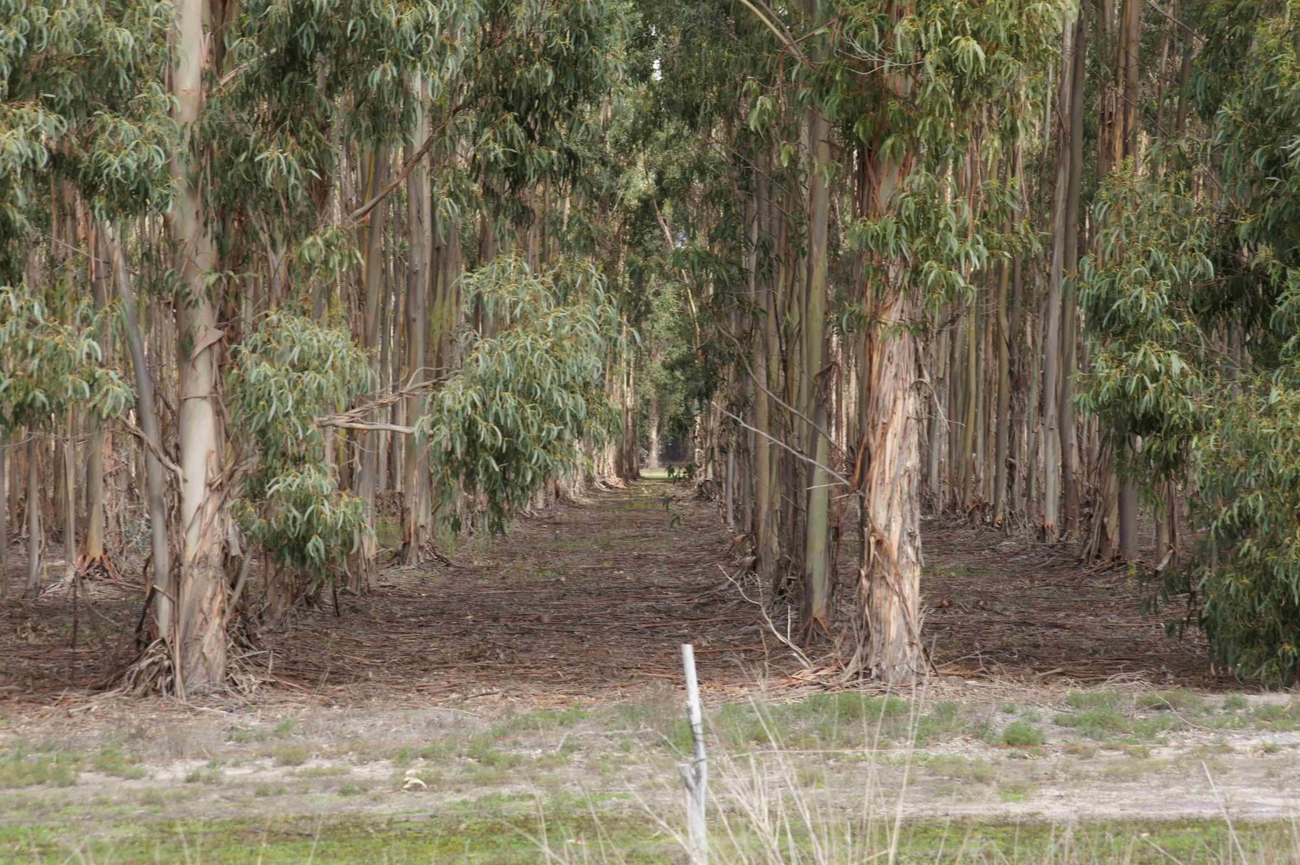 Waldplantage - Aufzucht für die Holzindustrie, Nähe Esperance, WA