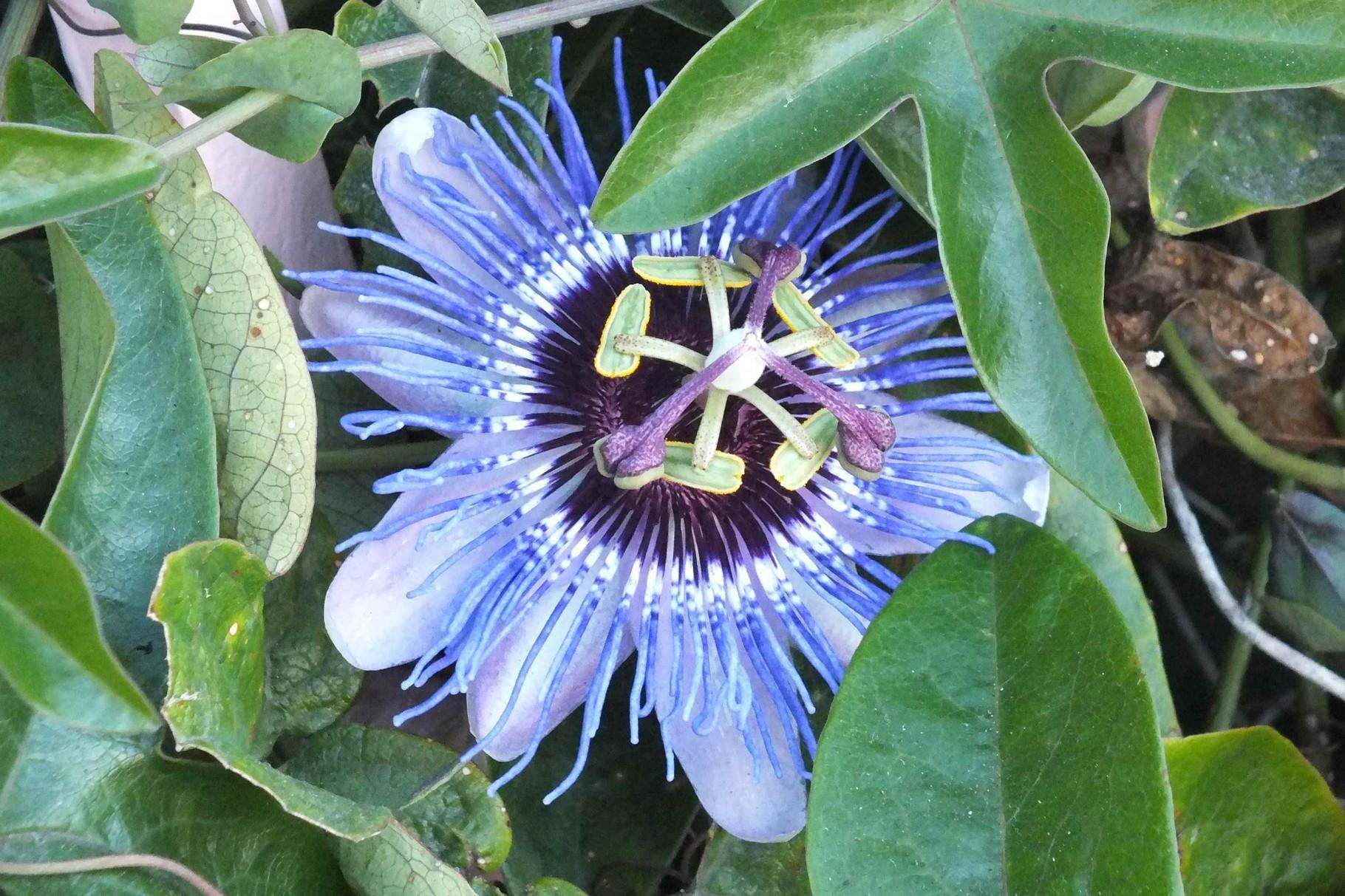 Passionsblume, Kalifornien