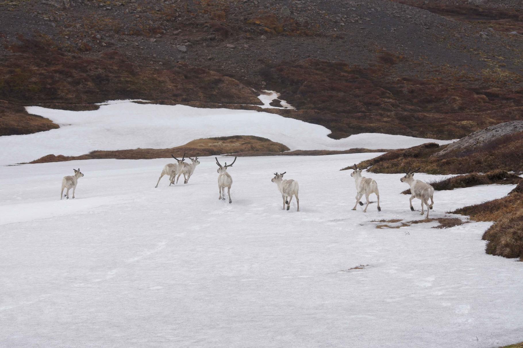 Gut getarnte Elche auf Island