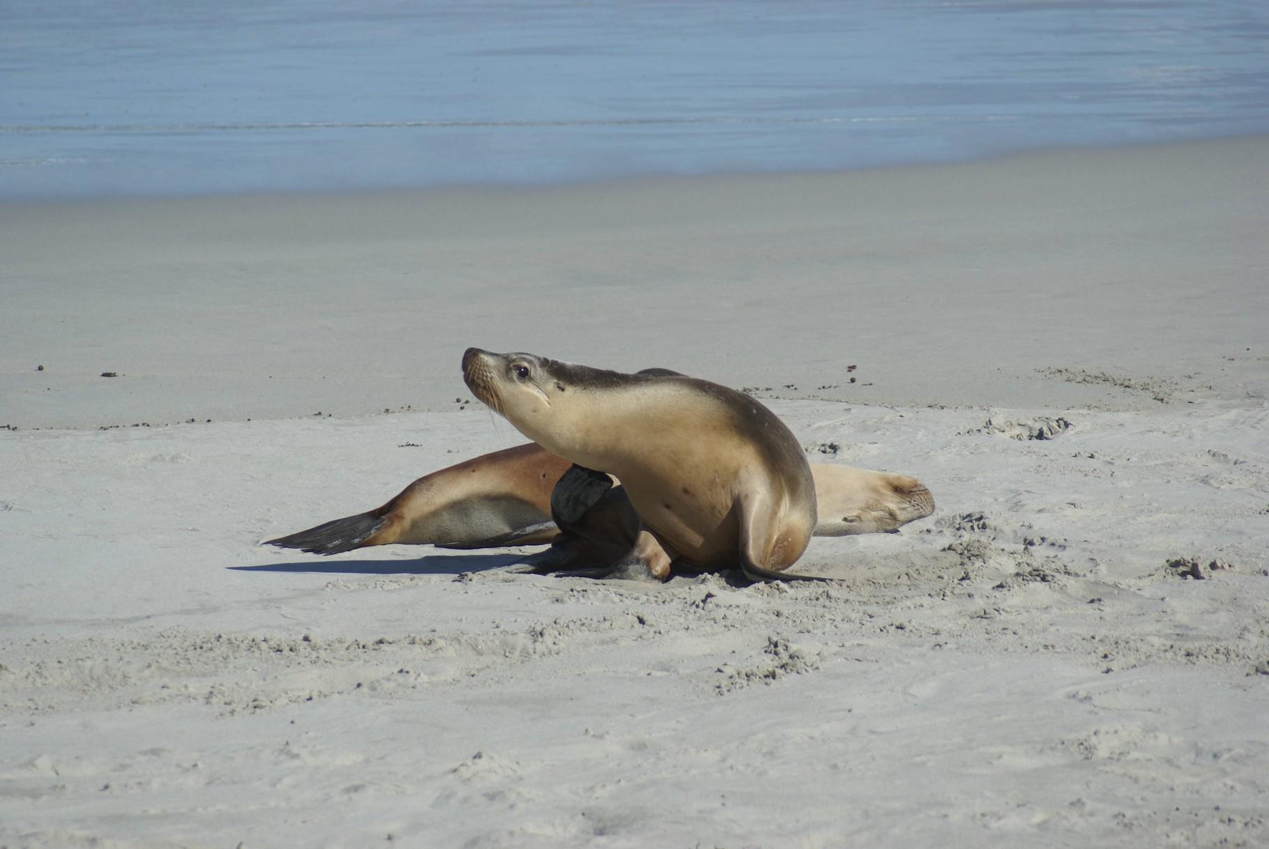 Seehundjunge auf Kangaroo Island