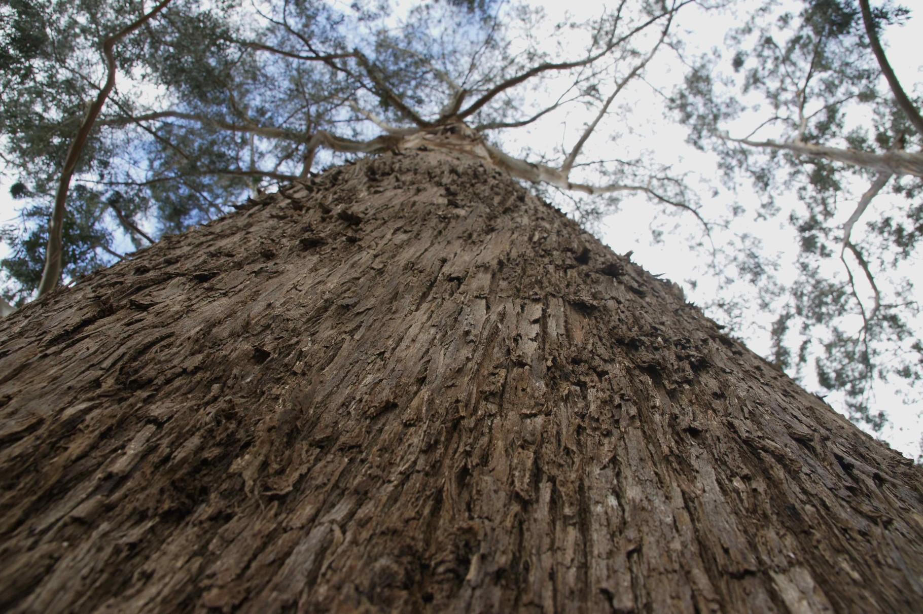 Eukalyptus mit ca. 50 m Höhe, Madeira