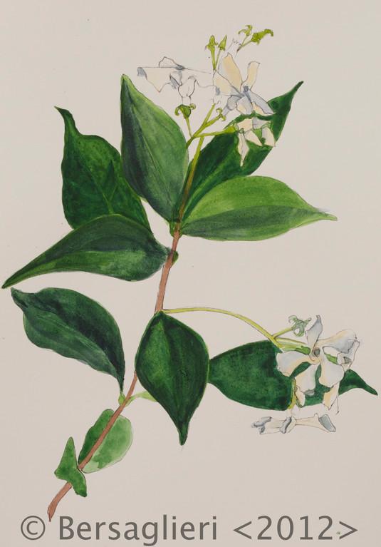 "Trachelospermum jasminoides, watercolor on paper, 7""x9"", 2012"