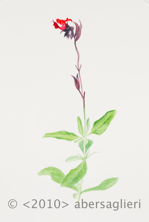"Salvia splendens, watercolor on paper, 7""x9"", 2010"