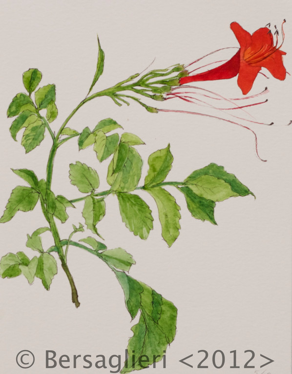 "Campsis radicans, watercolor on paper, 7""x9"", 2012"