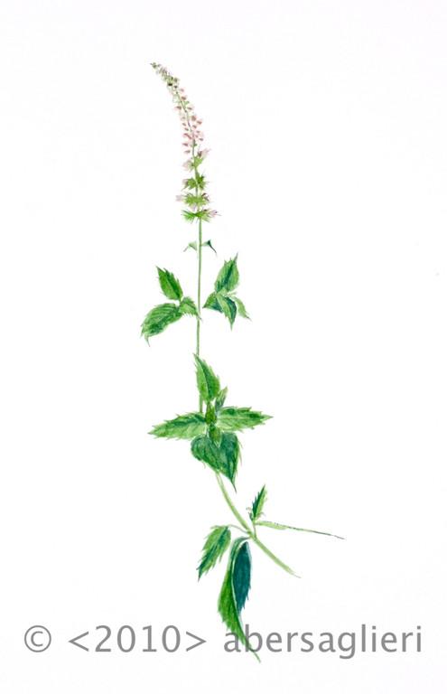 "Menta spicata, watercolor on paper, 7""x9"", 2010"